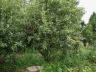 Laxtons Fortune apple tree