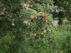 Laxton's Fortune apples
